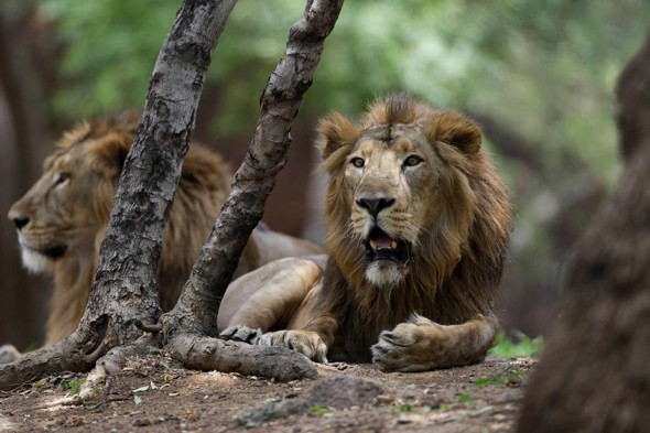 Man mauled by lions after jumping into zoo enclosure following row with wife