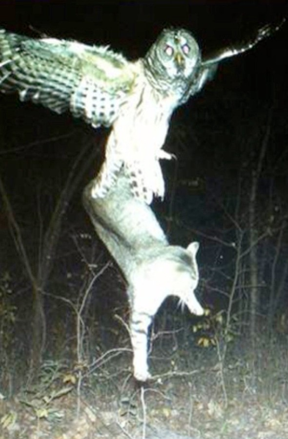 Amazing image shows owl taking cat out for lunch