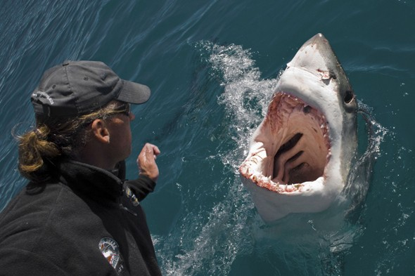 Great white shark jumps out of water and frightens photographer