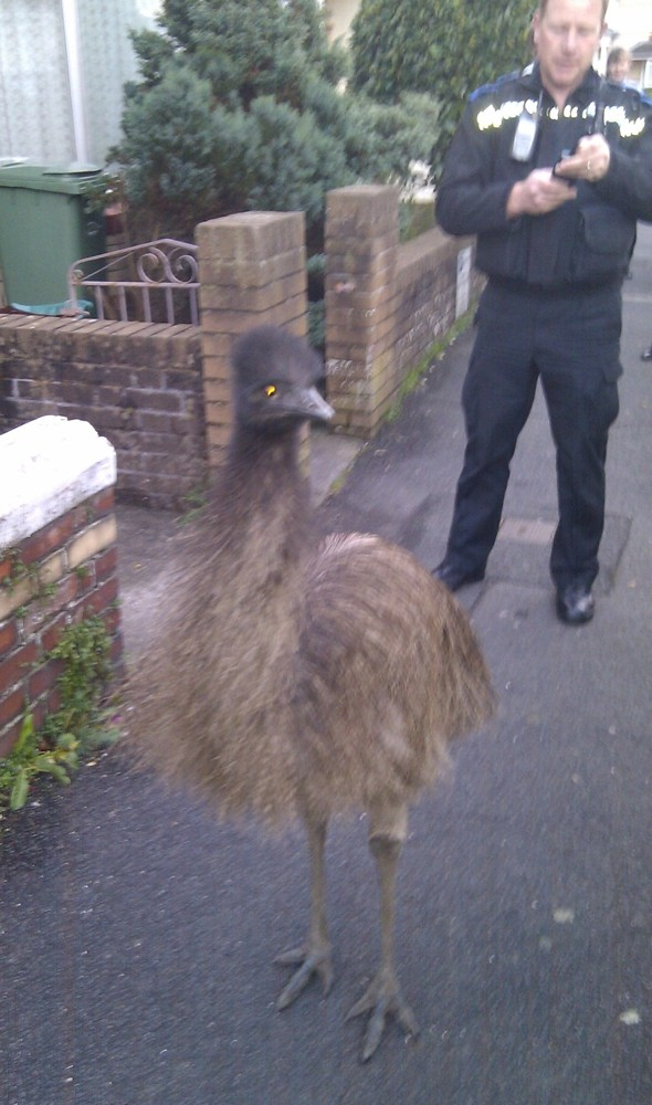 Escaped emu 'arrested' after causing rush-hour chaos in Devon