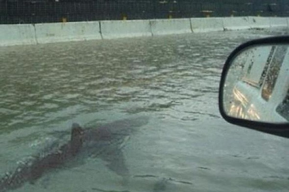 Sharks swim through the streets of New York