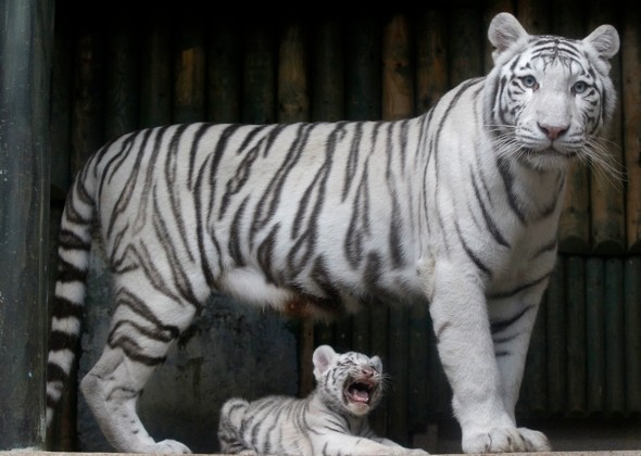 Rare white tiger attacks three after escaping zoo enclosure