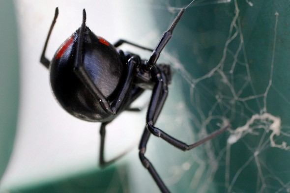 Hundreds of black widow spiders hatch in shipping container bound for Norwich