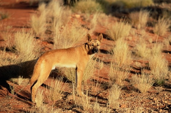 Dingo put down after stealing British tourist's bag of cash and jewellery