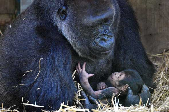 Zookeeper's emotional reunion with gorilla he hand-reared 20 years ago