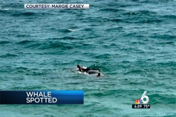 Video: Probe after swimmers spotted 'riding' sick whale that died off Florida coast