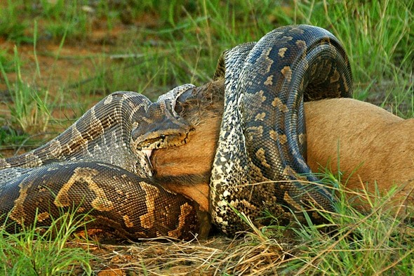 African python pictured swallowing WHOLE wildebeest for first time