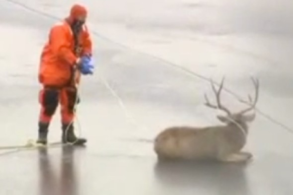 Bambi on ice! Rescue of deer stranded on lake caught on camera