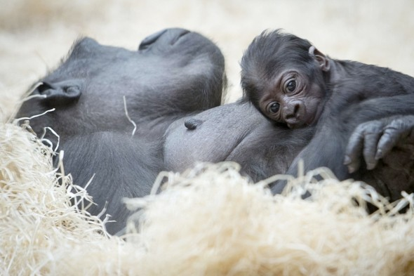 Baby joy for gorilla whose last baby accidentally hung itself