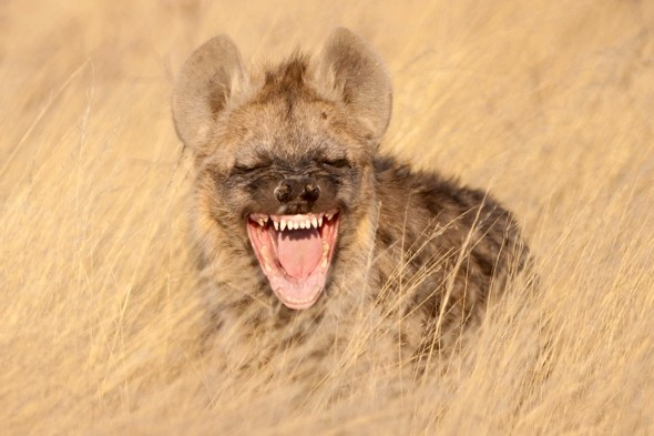 It really is a laughing hyena! Cat gets giggles on South Africa safari