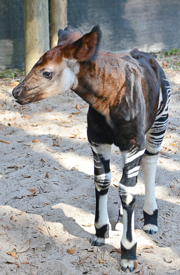 Super-cute baby okapi born at zoo - but what exactly is it?