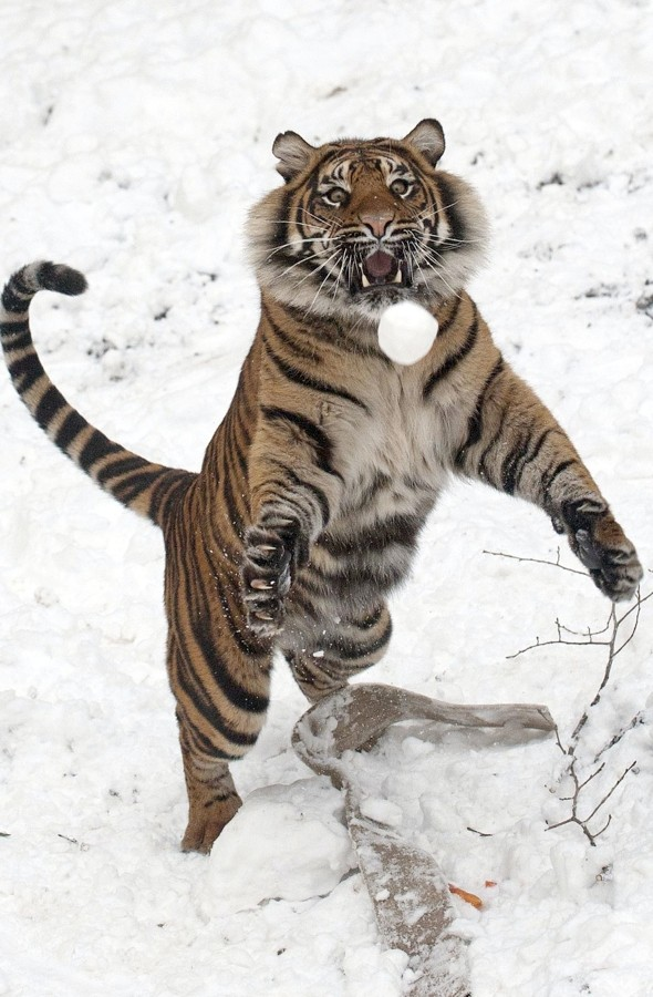 Even tigers can't resist a snowball fight! Dudley Zoo keeps one entertained