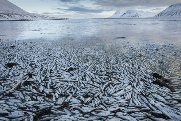 Why have thousands of fish died in an Icelandic fjord?