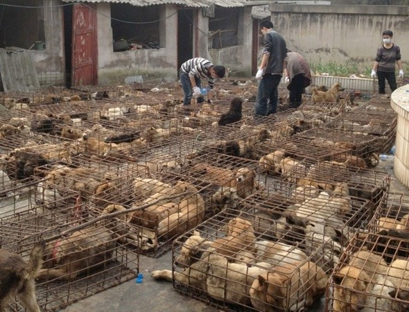 Truck carrying 1,000 dogs to restaurants in China intercepted