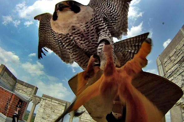 Angry Birds! Falcons attacking conservationists caught on camera
