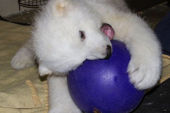 Video: Polar bear whose mother was shot dead is nursed back to health