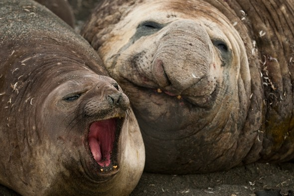 Elephant seal looks rather satisfied after