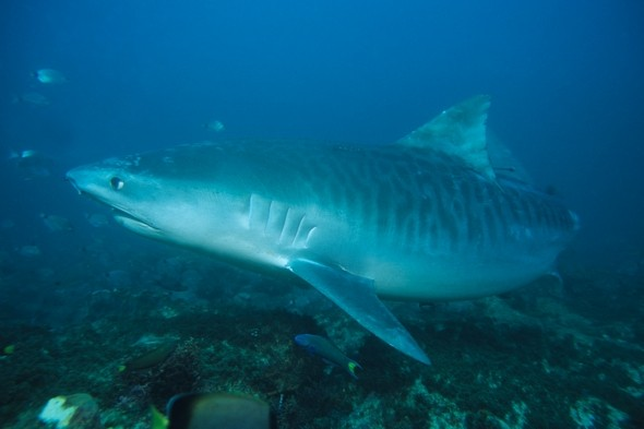 Fisherman killed by 16ft tiger shark in Jamaica