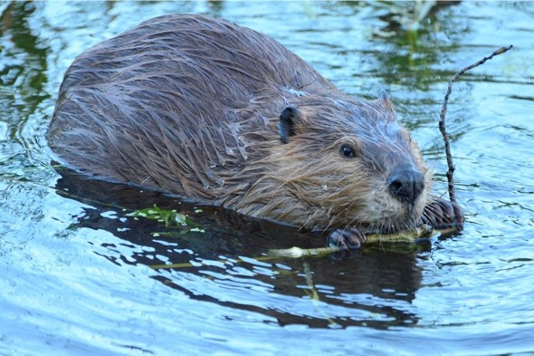 Man killed in beaver attack in Russia
