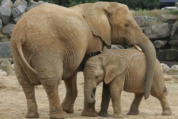 Air ambulance lands in elephant enclosure at Colchester Zoo