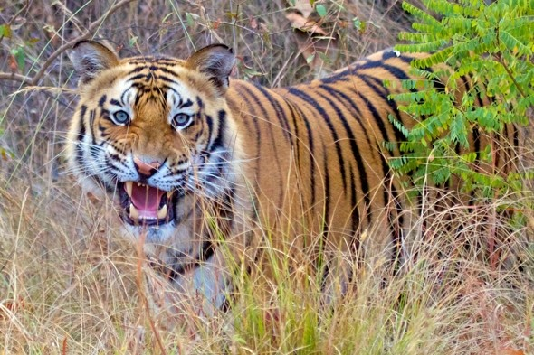 Wild tiger 'looking for love' sneaks into zoo