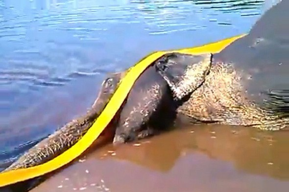 Shocking video: Circus worker dances on elephant as she dies