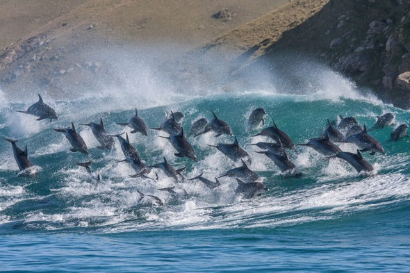 Amazing pictures: Pod of 40 dolphins 'surf' 8ft waves in South Africa