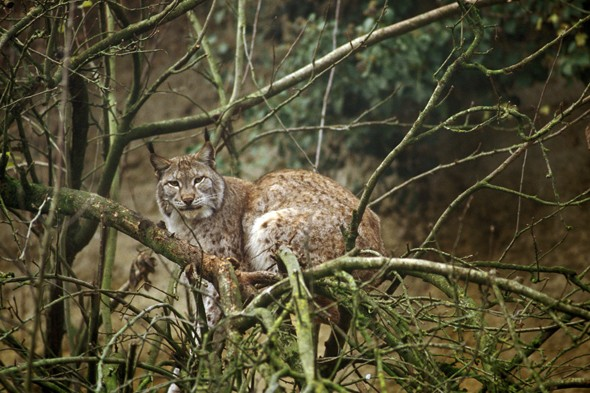 Pet lynx recovered on French Riviera