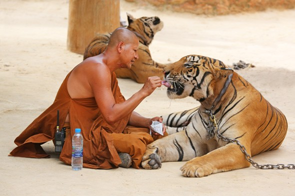 Pictures: Thailand's tiger temple where monks cuddle up to predators
