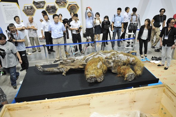 39,000-year-old woolly mammoth on diplay in Japan