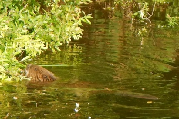Wild beaver spotted in England for first time in 500 years