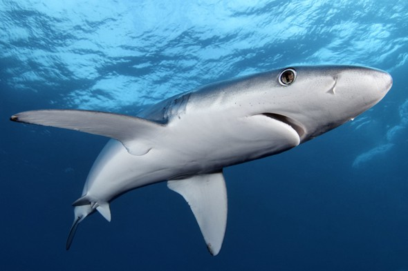Diver confronted by 'killer' blues sharks in Cornwall