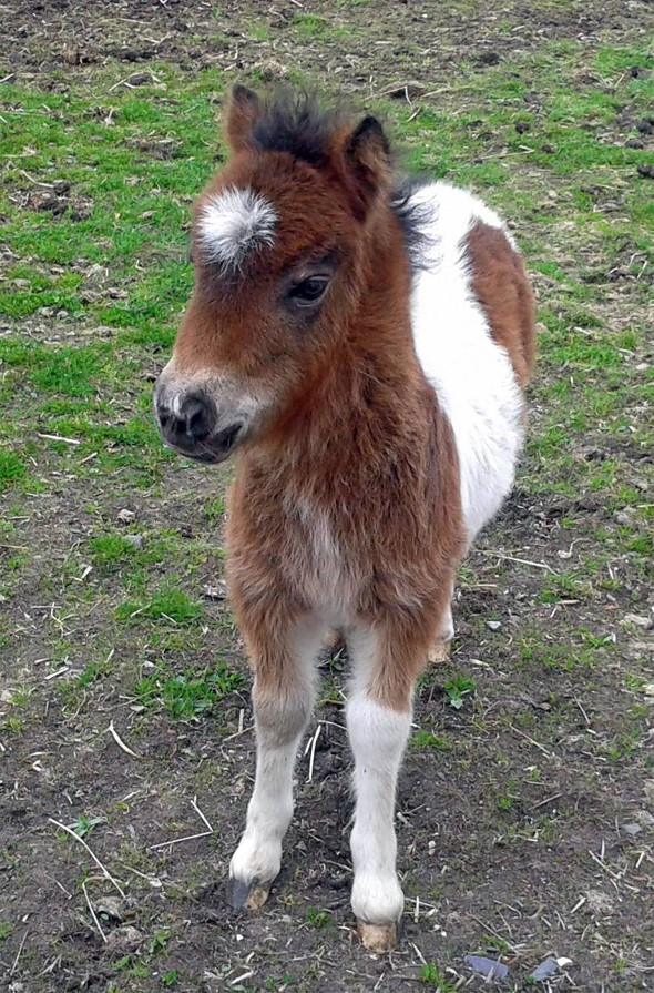 'Cowardly yobs' drown baby Shetland pony in river