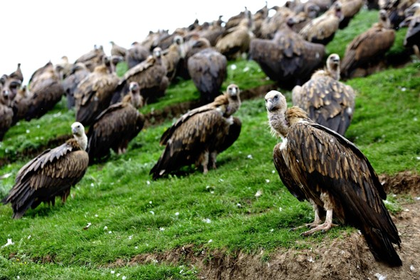 Pictures: Tibetan sky burial where the dead are chopped up and fed to vultures
