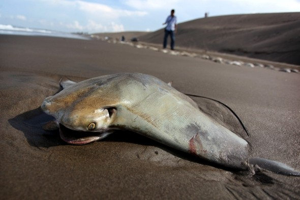 Why did 300 stingrays wash up on Mexico beach?