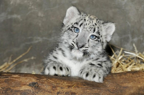 Double cute alert: Baby rhino and snow leopard cub both melting hearts