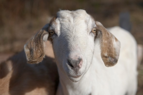 Man banned from every farm in UK after admitting sex with goat
