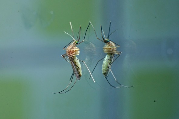 British mosquito season hits! Why YOU might be targeted and not others