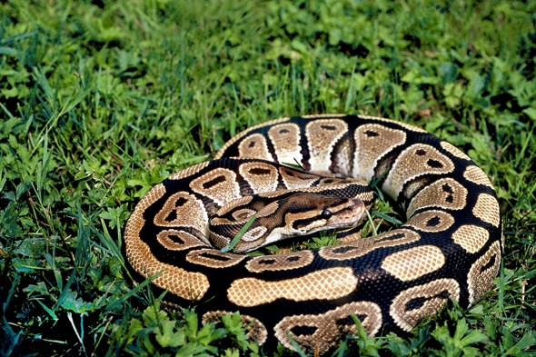 Dog walker discovers royal python in South Yorkshire