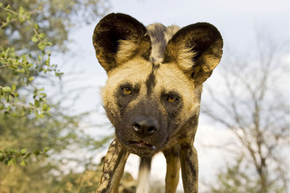 African wild painted dog mauls toddler to death at Pittsburg Zoo - mother blamed