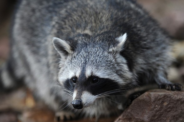 Stowaway racoon survives for a month by eating cardboard