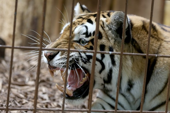 Siberian tiger crept up and killed zookeeper with bite to neck