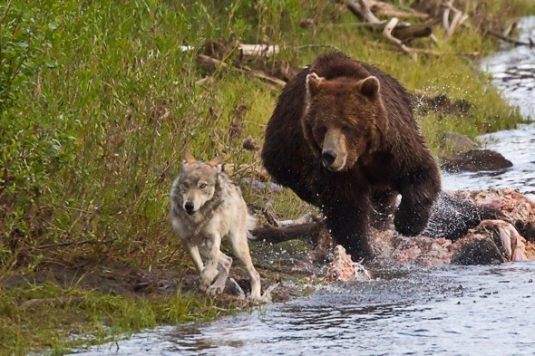 Scottish millionaire landowner to 'reintroduce wolves and bears'
