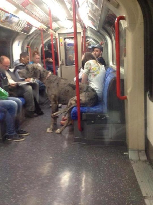 HUGE dog takes a trip on the Tube