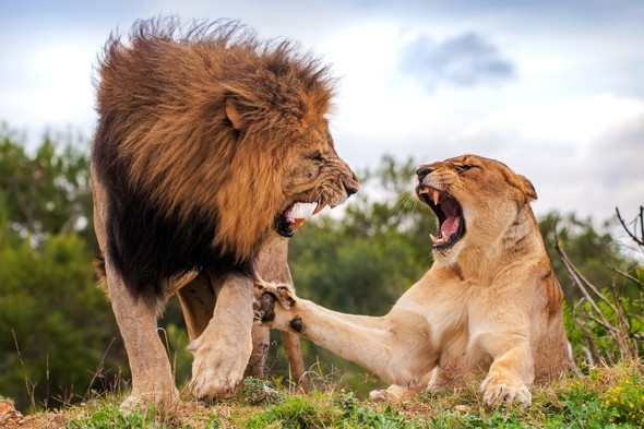 Love is NOT in the air: Scary moment lioness puts her paw down