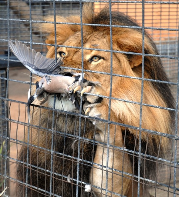 That was lucky! Pigeon escapes jaws of lion after flying into zoo enclosure