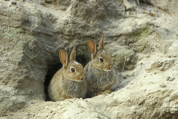 Thousands of rabbits 'eating away at Scottish island' to be culled