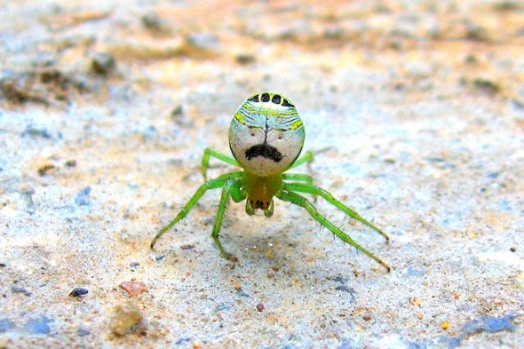Meet the spider that looks like Borat in a mankini