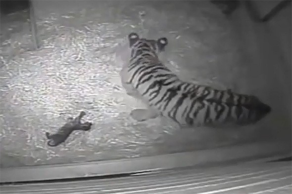 First tiger cub to be born at London Zoo in 17 years drowns