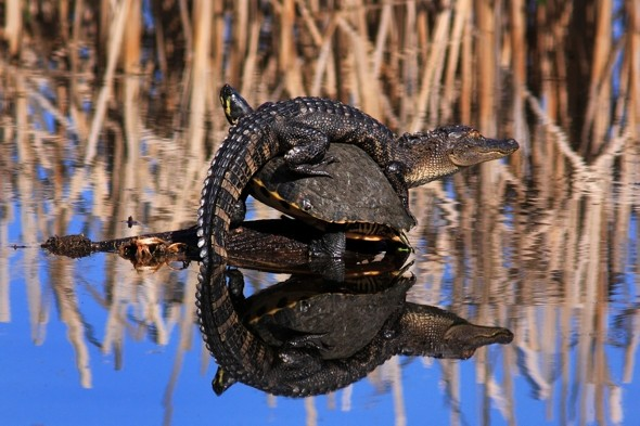 Alligator snaps up top sunbathing spot - on a turtle